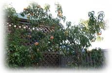 Peach_tree