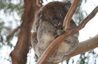 Koala_3
